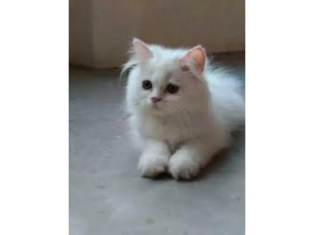 Persian cats kittens for sale in bhubaneswar cuttack